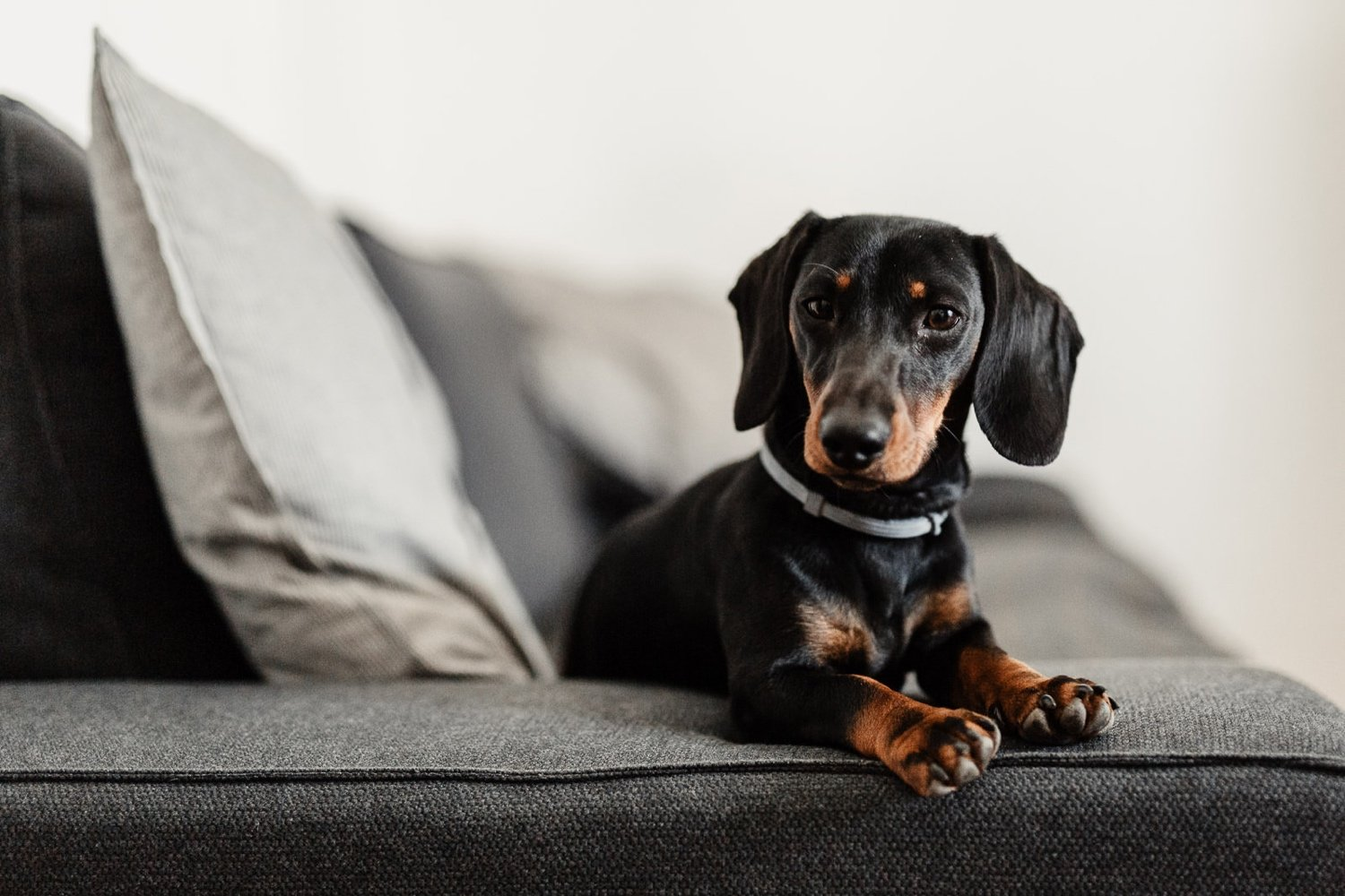 Dachshund, pet photographer