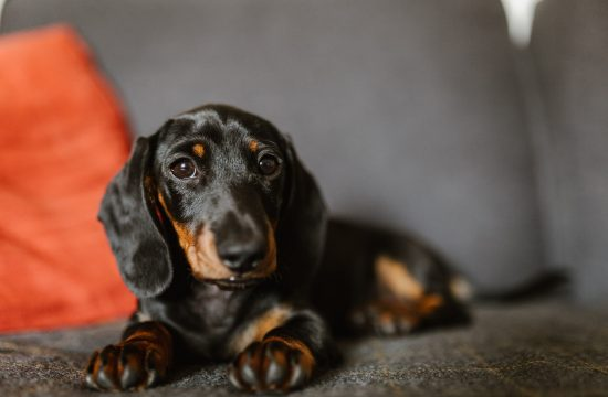 Dachshund, Pet Photographer